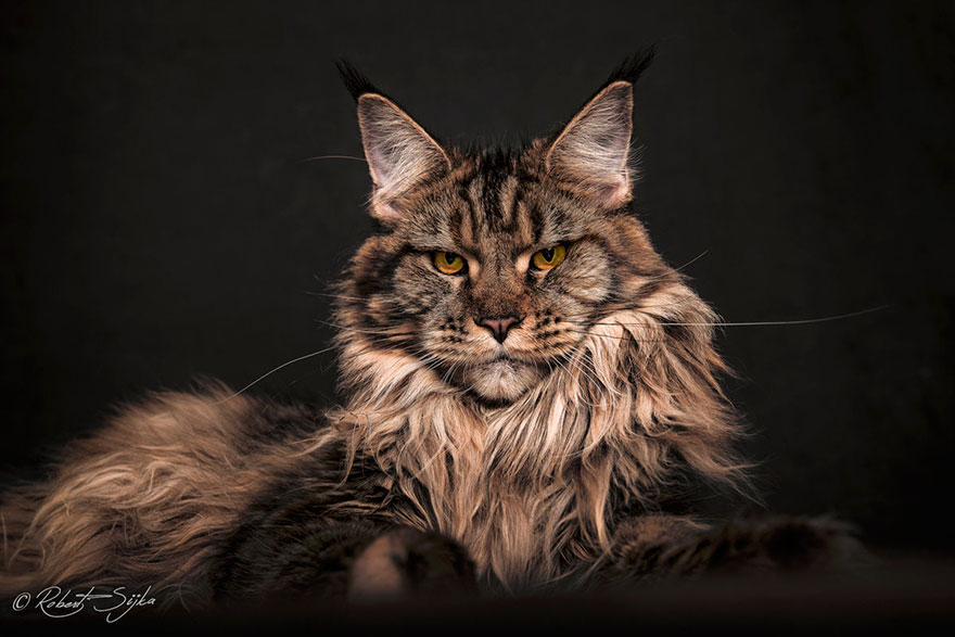 Gato Maine Coon Cat